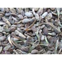Semillas Hierba del Betun Psoralea Bituminosa