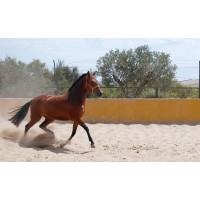 Yegua Pura Raza Española- Remolona IV