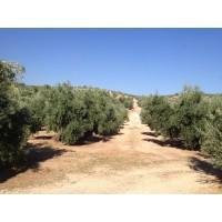 Finca Olivar 6.500 Olivos en Bedmar (Jaén)