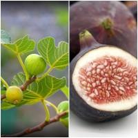 Semillas de Higuera. Ficus Carica. 50 Gramos