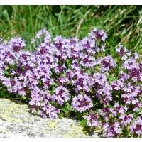 Planta de Thymus Vulgaris - Tomillo Común. Al