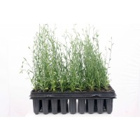Spartium Junceum - Gallomba (Bandeja 45 Unida