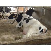 Sanex Bedding . Cuidado Higienico de las Camas de los Animales. Evita Mastitis y Enfermedades de Pezuñas en Animales