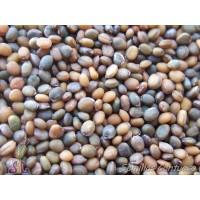 Semillas Rucola Eruca Sativa