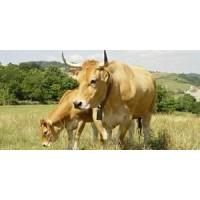 Venta de 13 Vacas Asturianas y Trece Derechos.