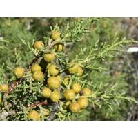 1 Planta de Juniperus Phoenicea - Sabina Mora