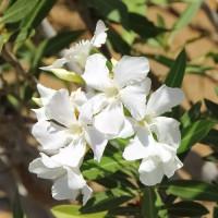 Adelfa Blanca - Maceta de 2Litros