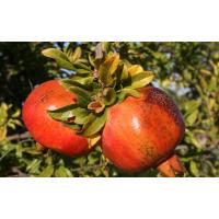 Frutal Granado Común. Planta de 60-70 Cm.