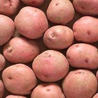 Patatas de Siembra Red Pontiac Ecològica 25kg