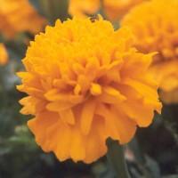 Pigmento Saponificado de Marigold
