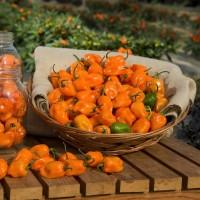 Pimiento Picante Habanero Naranja. 5 Semillas Ecologicas
