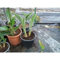 Planta Tropical de Sterlitzia Regina 3 en Maceta de 30 Cm