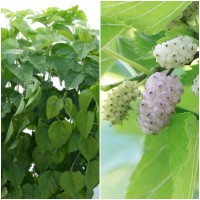 Semillas de Morera Blanca. Morus Alba. 10 Gra