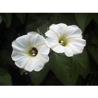 Semillas Rivea (Turbina) Corymbosa (Ololiuhqui)