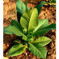 Tabaco Rubio - Nicotiniana. 5000 Semillas - Seeds