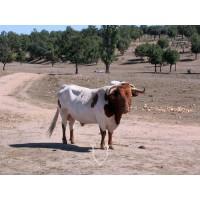 Ganado Berrendo en Colorado y Limousin