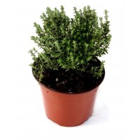 Pack de 3 Plantas Aromáticas de Tomillo - Thy