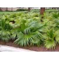 Planta de Palmera Livistonia Chinensis