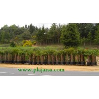 Trachycarpus Enraizados