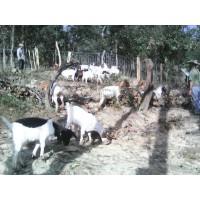 Cabras,chivos  Boer