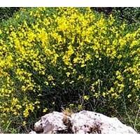 Planta de Cytisus Scoparius - Retama Negra. e