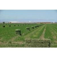 se Vende Alfalfa Desidratada O en Rama 175€/tn