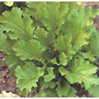 Semillas Mustard Gai-Choi,orientales Semillas Semar (50 Gr) Mostaza