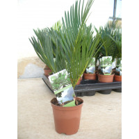 Cyca, Cycas, Mini, una Planta/palmera Mini en