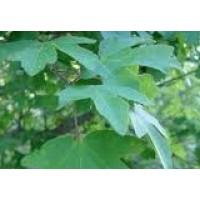Planta de Arce (Acer Campestre) en Formato Fo
