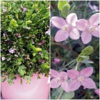 Planta de Boronia Crenulata. Hojas Perfumadas