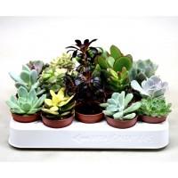 Plantas Cactus Suculentas Mix