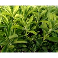 Plantas de Stevia Rebaudiana. Edulcorante Natural. Planta Dulce. Bandeja de 54 Plantas