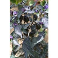 """Semillas de Chile """"black Olive"""" (Capsicum Annuum)"""