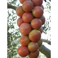 Semillas Tomate de Colgar Cinca. 1000 Semillas