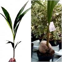 Planta de Coco Cocotero. en Maceta M19. Altura 130-150 Cm