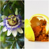 Semillas de Pasionaria. Passiflora Caerulea. 10 Gramos