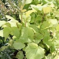 Semillas Valeriana/valeriana Officinalis