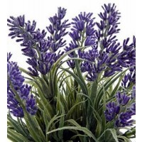 1 Planta Aromática de Lavanda Lavandula. Altu