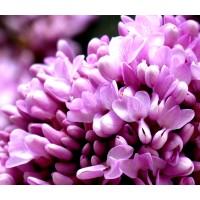 100 Semillas de Cercis Siliquastrum. Arbol del Amor