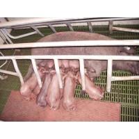 Lechones Ibéricos