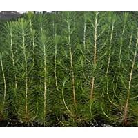 Planta de Pinus Halepensis - Pino Carrasco. A