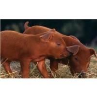 Vendo Cerdos Duroc Jersey Puros