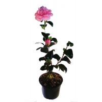 Camelia Japonica ROSA (Rosa Maciñeira)