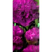 Clavel Gigante Violeta. Envase de 200 Semilla