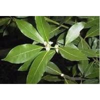 Laurel (Laurus Nobilis). 10 Semillas.