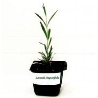 Pack de 10 Plantas Aromáticas de Lavanda Lavandula Angustifolia