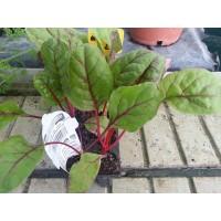 Planta de Acelga Roja en Bandeja de 6 Unidade