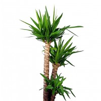 Planta Natural de Yucca. Yuca 60 - 80 Cm