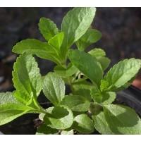 Semillas de Stevia 25 Ud