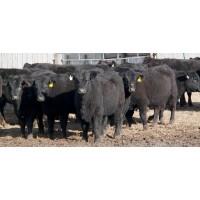 Vacas Preñadas de Wagyu